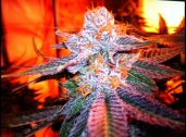 PURPLE KUSH  2013 High Times cup winner