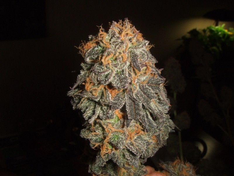 querkle-weed-3