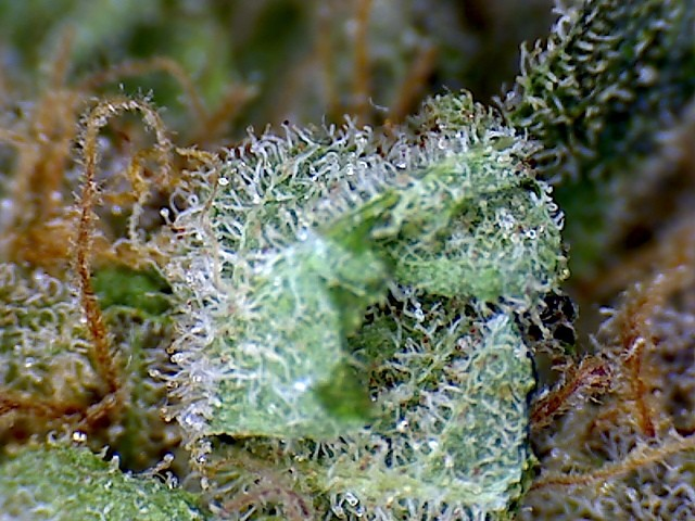 berry-white-weed-1
