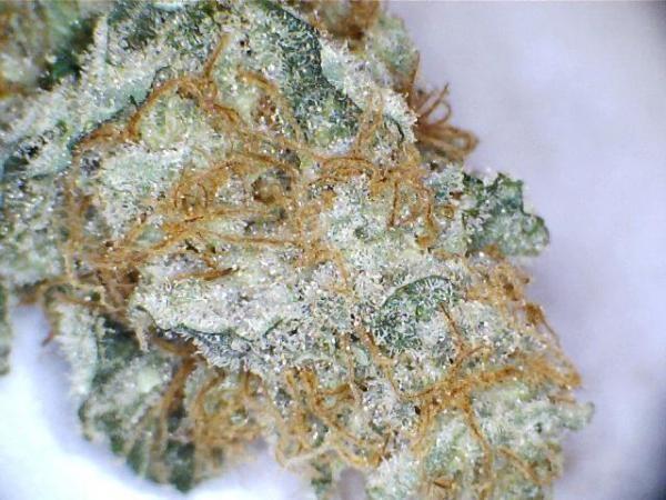 blue-venom-weed-4