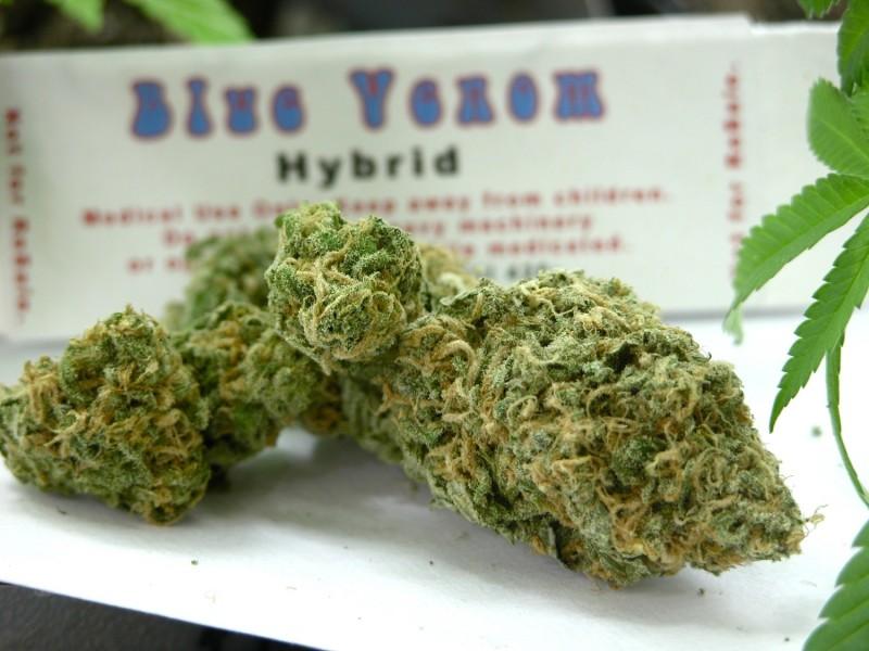 blue-venom-weed-2