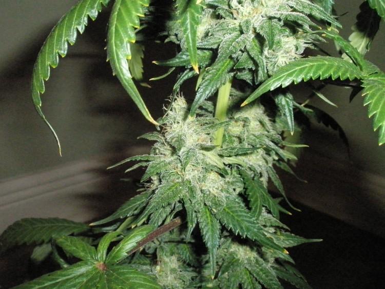 afghani-weed-4