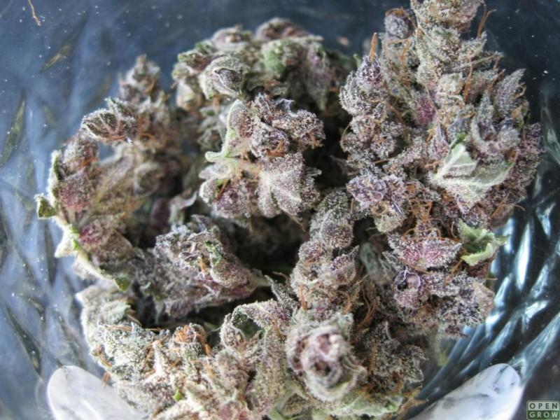 fruity-pebbles-hybrid-weed-2
