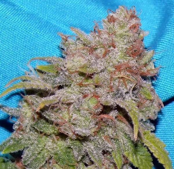 fruity-pebbles-hybrid-weed-5