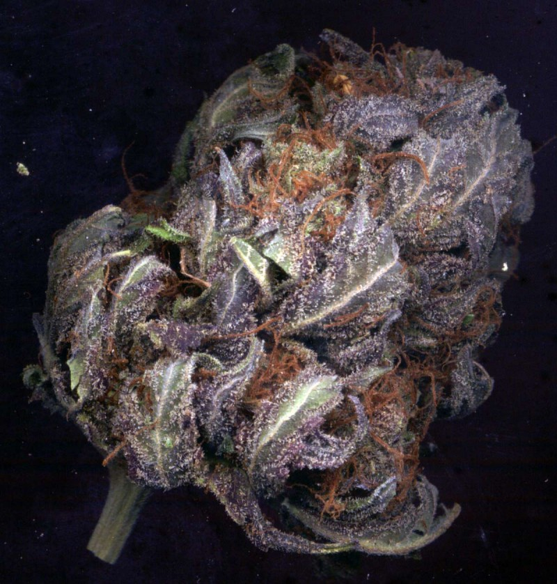 purple-haze-weed-2