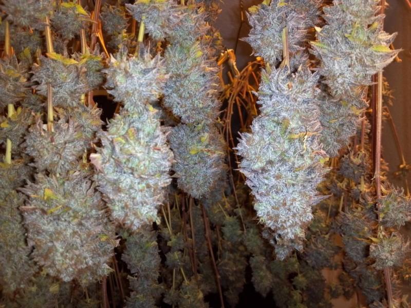 alien-og-weed-
