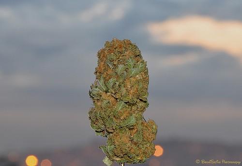 dp-weed-2