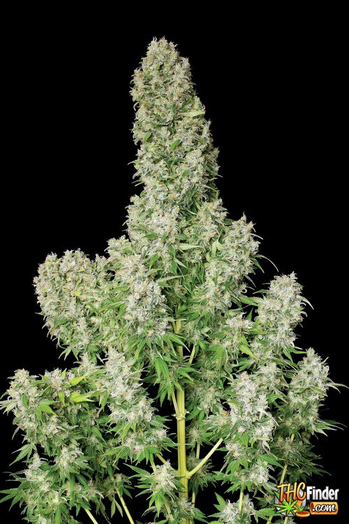 white-russian-weed-6