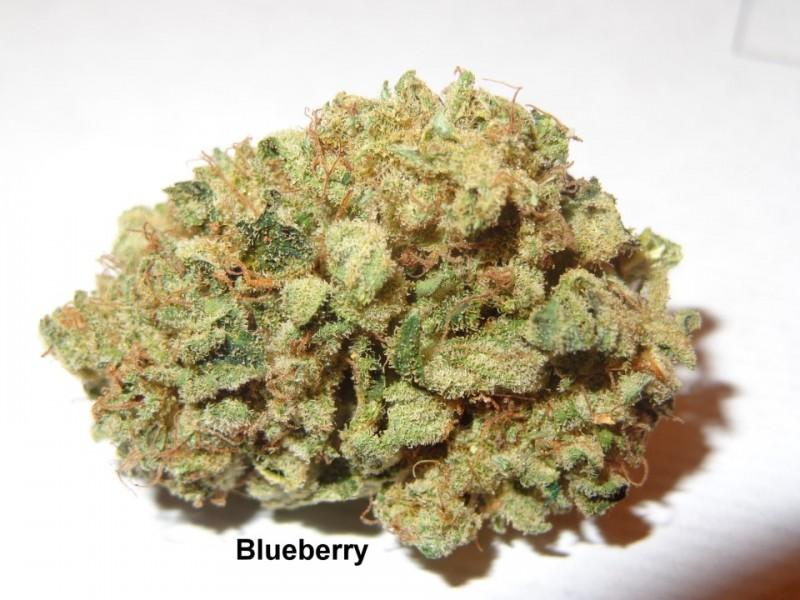 blueberry-weed-hybrid-5