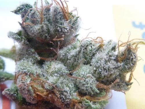 casey-jones-weed-4