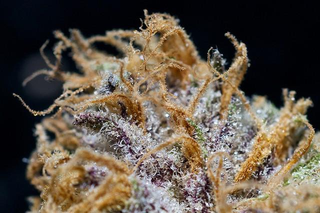 purple-hindu-weed