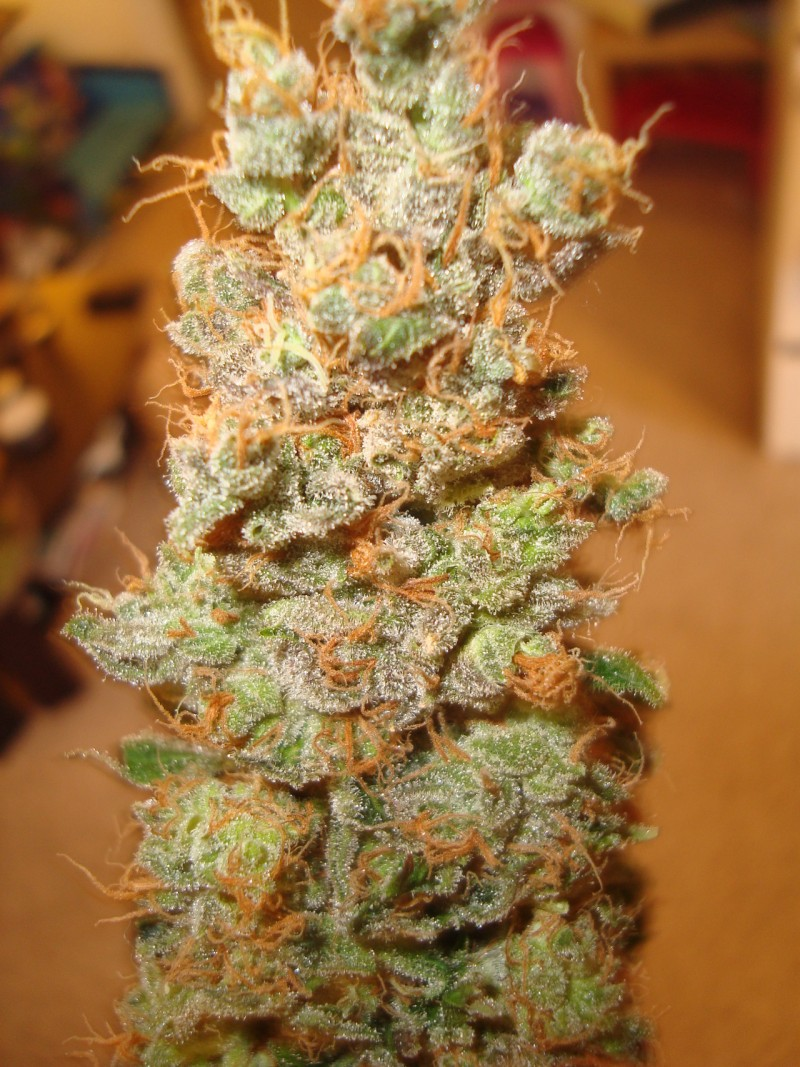 red-dragon-hybrid-weed