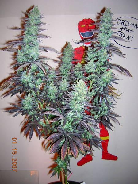 casey-jones-weed-5