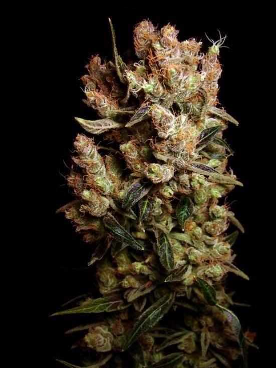agent-orange-weed