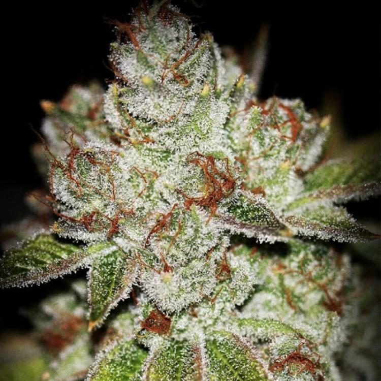 sour-og-weed-2