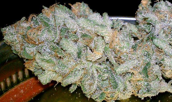 chernobyl-hybrid-weed-5
