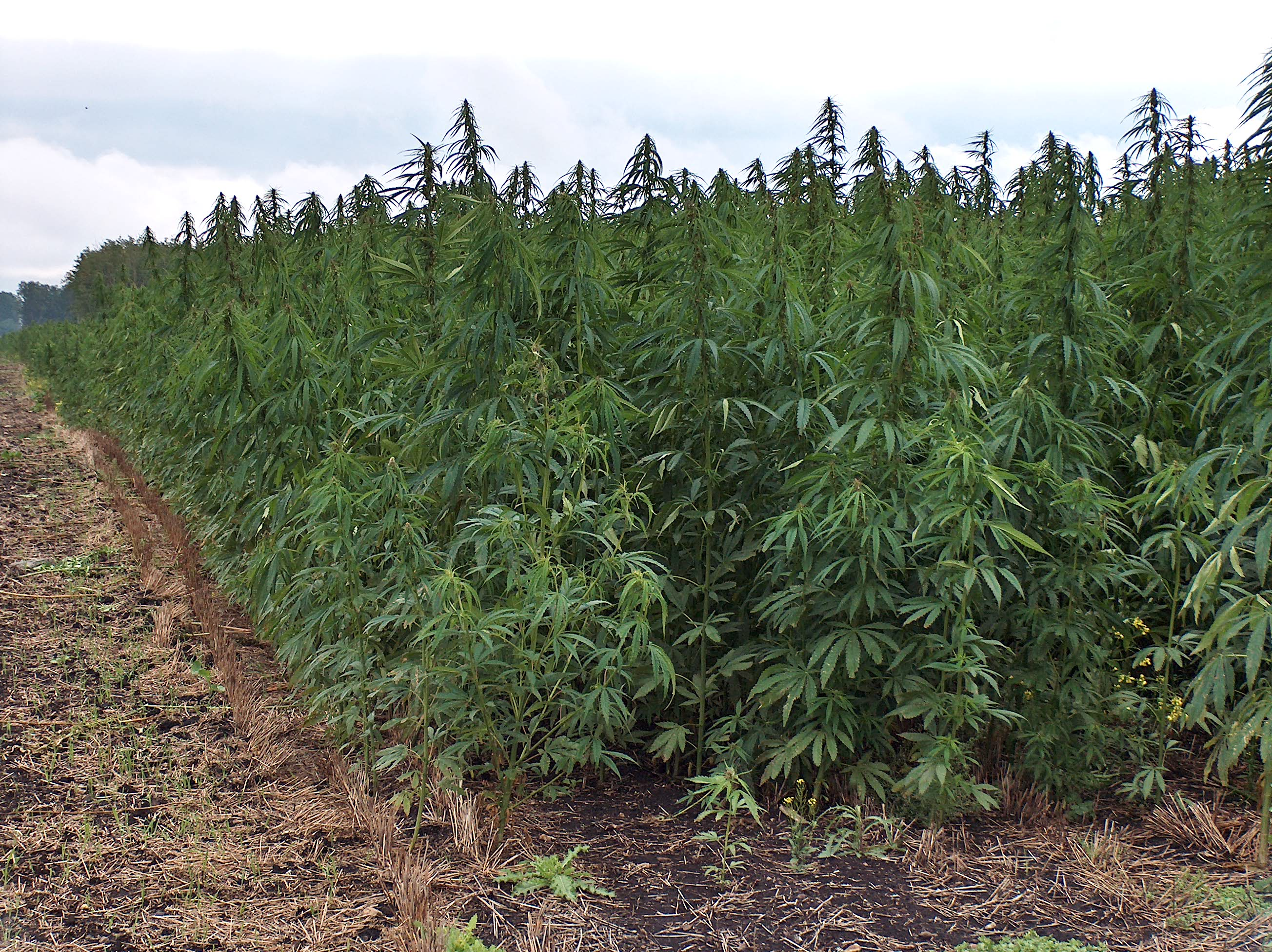 industrial-hemp-gains-momentum