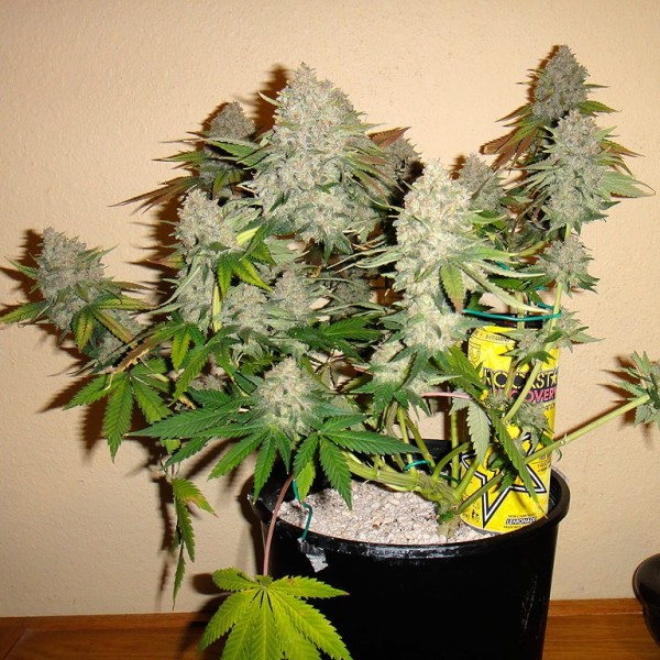 cannabis-autoflower-seeds