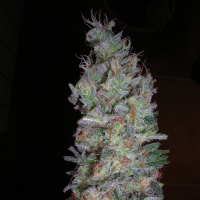 black-domina-hybrid-weed