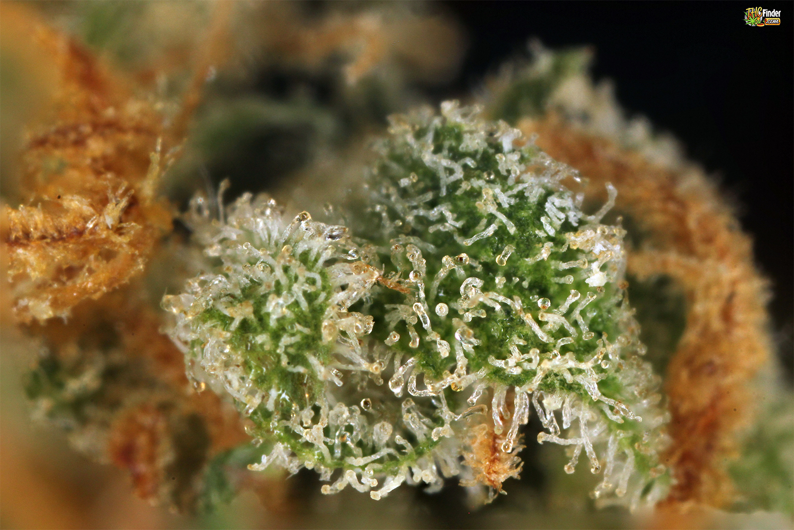 bctrichomes