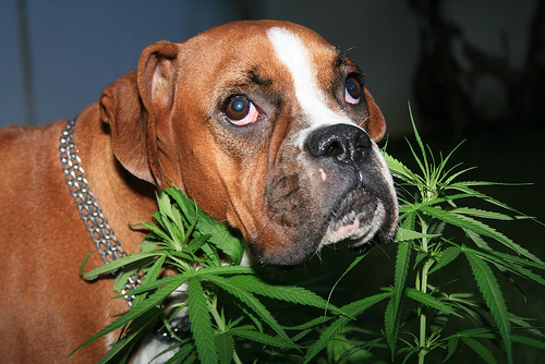 cannabis-for-pets