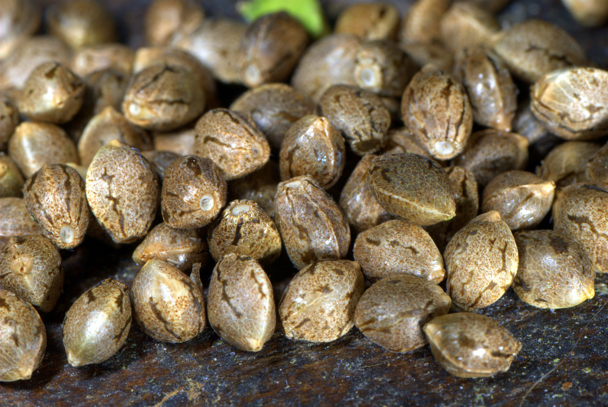 cannabis-seeds-shipped