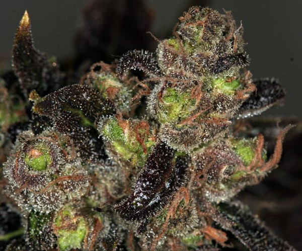 chocolate-chunk-weed