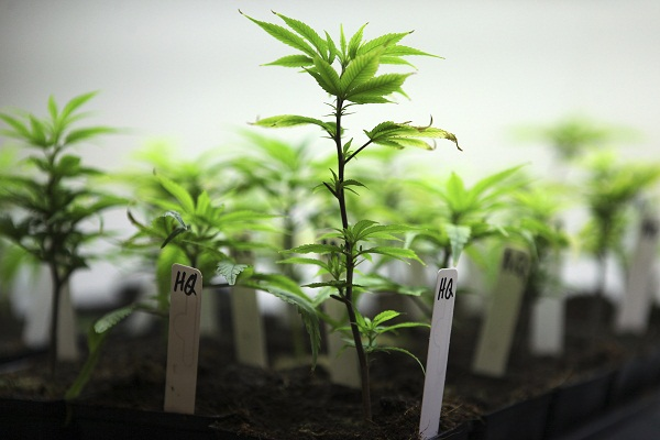 cloning-cannabis-plants
