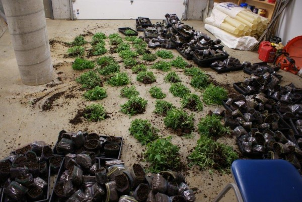 cops-in-trouble-for-destroying-weed-plants