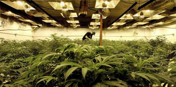 dea-orders-marijuana-for-testing