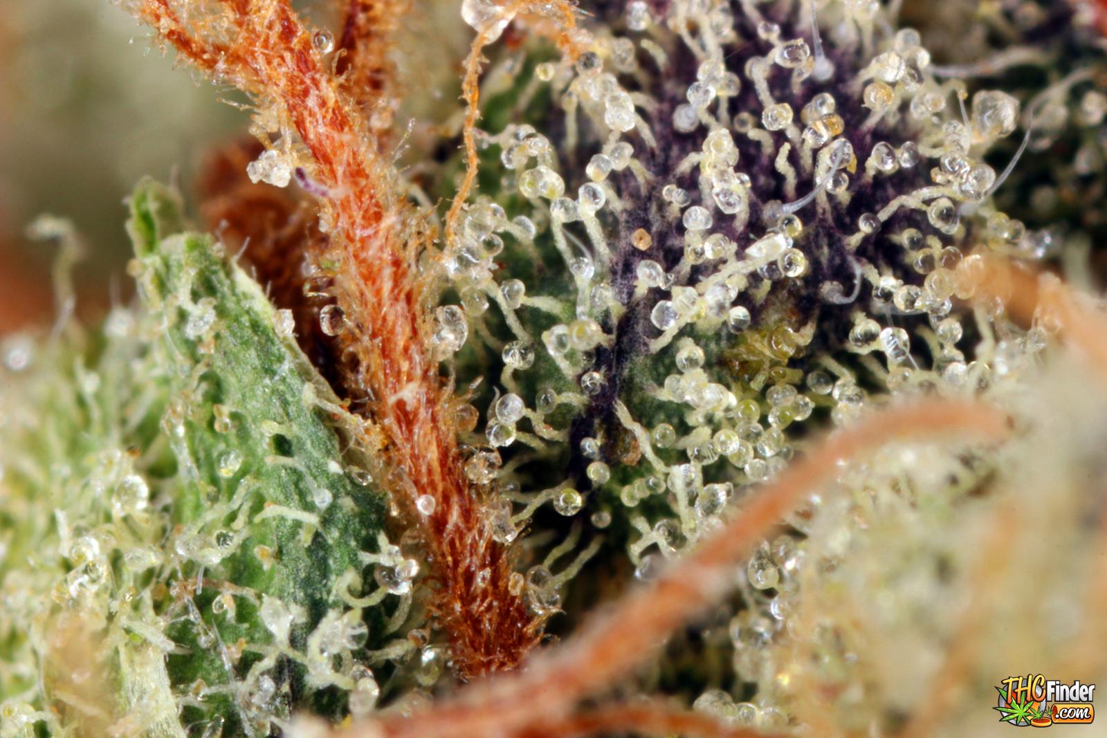 Nugs marijuana blog thc finder dispensaries thc finder