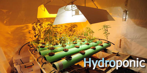 hyrdo-marijuana-growing