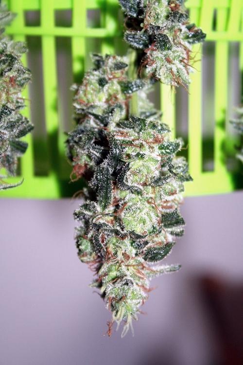 jack-white-weed