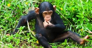 legalize-weed-save-the-chimps