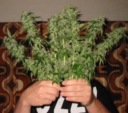mj-plant-fight