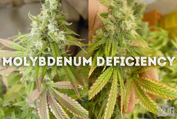 molybdenum-deficiency-in-cannabis-plants