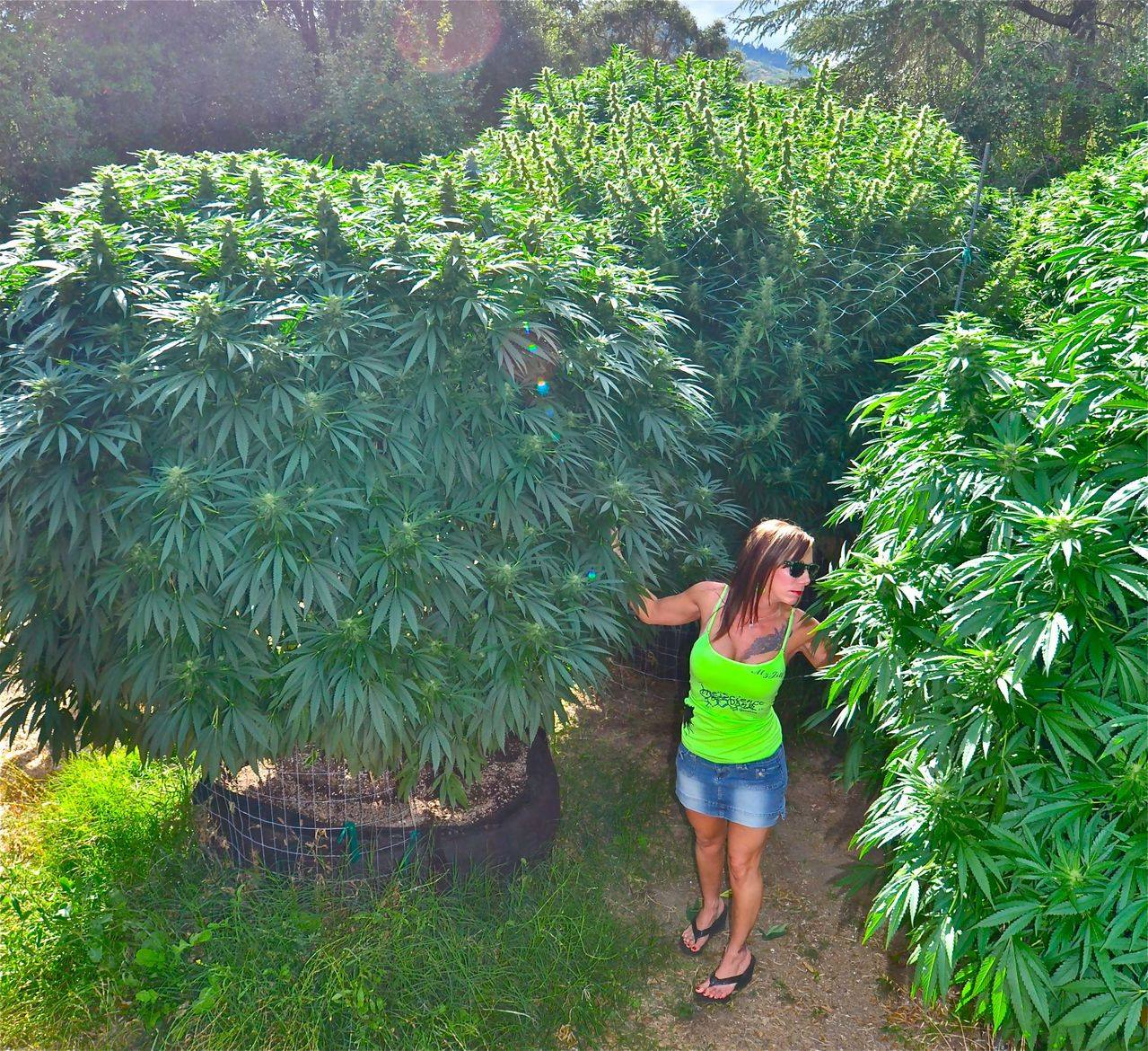 those-are-trees-cannabis-trees