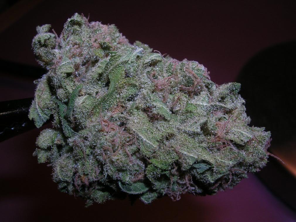 Purple Kush X Silver Kush