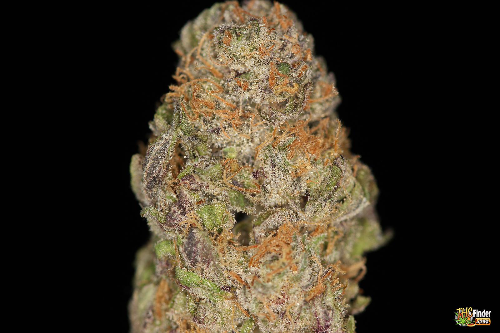 pz-purple-zombie-weed