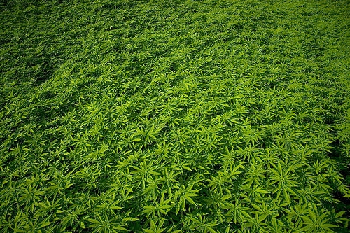 the-pros-and-cons-of-hemp-production